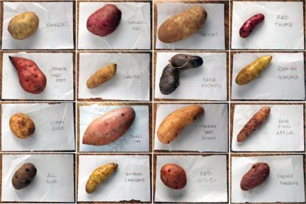 -potato-varieties